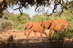 Elefanter som går, landskap av Kenya Royaltyfria Foton