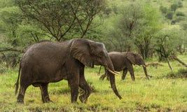 Elefanter som går, Serengeti, Tanzania arkivfoton
