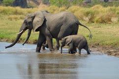 Elefanter som korsar floden Fotografering för Bildbyråer