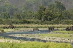 Elefanter som korsar floden Arkivfoto