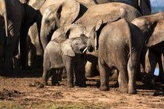 elefanter som leker barn Royaltyfria Bilder