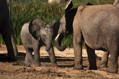 elefanter som leker barn Royaltyfria Foton