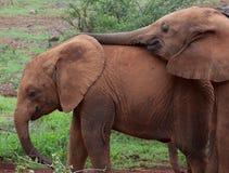 elefanter som leker barn fotografering för bildbyråer
