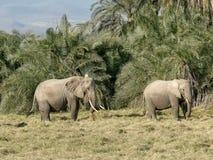 Elefanter som matar i amboselinationalparken som är keny arkivbilder