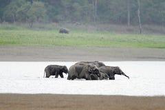 Elefanter som ner kyler i den Ram Ganga floden, Jim Corbett Arkivbilder