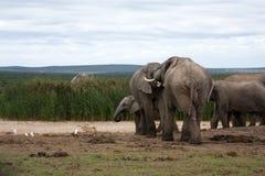 elefanter som påverkar varandra Arkivbild