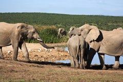 elefanter som påverkar varandra Arkivbilder