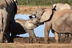 elefanter som påverkar varandra Arkivfoton