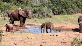 Elefanter som plaskar på ett vattenhål stock video