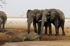 Elefanter som sörjer deras döda Arkivfoto