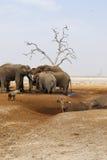Elefanter som sörjer deras döda Royaltyfri Bild