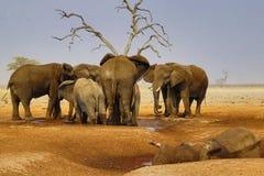 Elefanter som sörjer deras döda Arkivbild