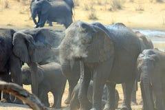 Elefanter som samlas på en waterhole med dammflyg Arkivbild
