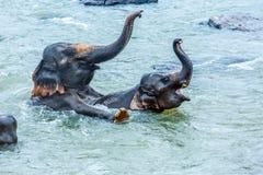 Elefanter som spelar i floden Fotografering för Bildbyråer