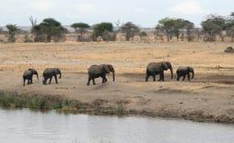 Elefanter som ståtar från floden Tom Wurl Arkivbild