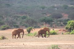 Elefanter som stegar i det löst arkivfoton