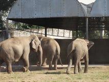 Elefanter som tillsammans går royaltyfria bilder