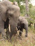 elefanter spelar privata reservsabisands Royaltyfria Bilder