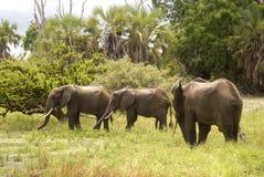 elefanter spelar reserven selous tanzania Arkivfoto