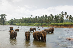 Elefanter Sri Lanka Arkivbild