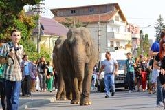Elefanter ståtar Royaltyfria Bilder