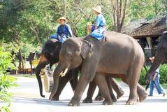 Elefanter ståtar royaltyfri bild