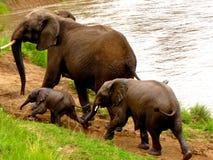 Elefanter ståtar på Royaltyfri Foto