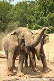 elefanter två Royaltyfri Fotografi