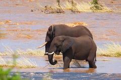 elefanter två Royaltyfria Foton