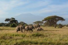 Elefanterna av Kilimanjaro Arkivfoton