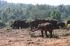 Elefanterna går på Royaltyfria Bilder