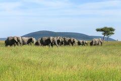 Elefanterna i savannahen royaltyfria bilder