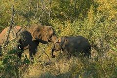 Elefanters kram Royaltyfria Foton