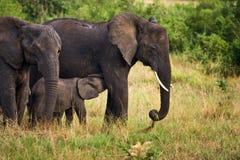 Elefantes foto de stock royalty free