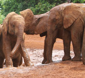 Elefantes Imágenes de archivo libres de regalías