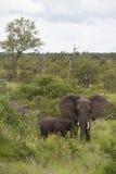 Elefantes Fotos de Stock