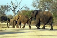 Elefantes Imagenes de archivo