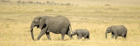 Elefantes Imagem de Stock Royalty Free
