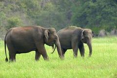 elefantes Fotografia de Stock