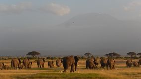 Elefantes almacen de video