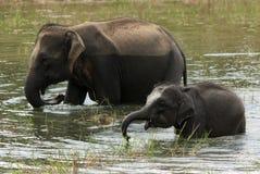 elefantes Fotos de Stock Royalty Free