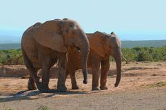 Elefantes (africana del Loxodonta) Imagen de archivo libre de regalías