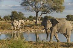 Elefantes africanos Imagem de Stock Royalty Free
