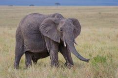 Elefantes africanos Fotografia de Stock