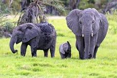 Elefantes africanos foto de archivo