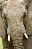 Elefantes africanos Imagen de archivo