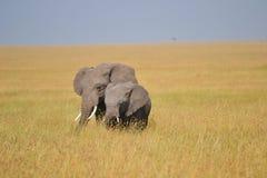 Elefantes africanos Foto de archivo libre de regalías