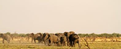 Elefantes africanos Fotos de Stock Royalty Free