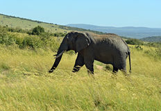 Elefantes africanos imagenes de archivo