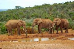 Elefantes africanos imágenes de archivo libres de regalías